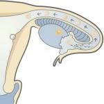 glidemiddel gravid menstruasjon uteblir
